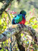 Quetzal, a rare bird in Costa Rica