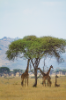Giraffes in Serengeti Natural Park.
