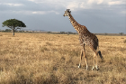 During a safari through the Serengeti, the group saw hippos, lions and a giraffe.