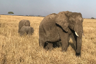 Elephants in the Serengeti.
