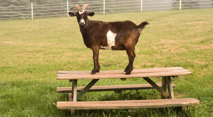 Goat on a table.